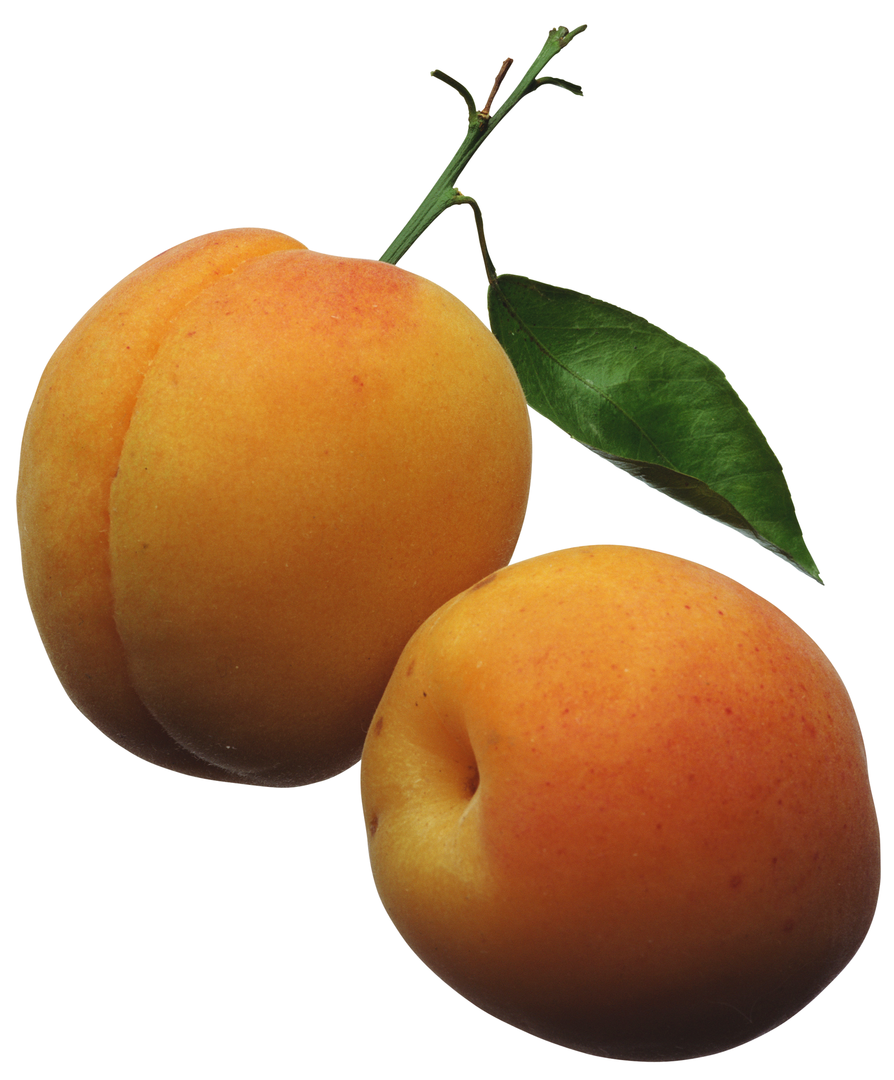 Apricot Clipart | Clipart Panda - Free Clipart Images
