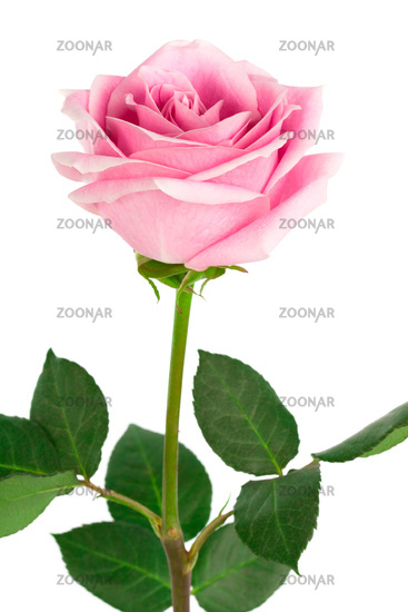 Beautiful Single Pink Rose | Clipart Panda - Free Clipart Images
