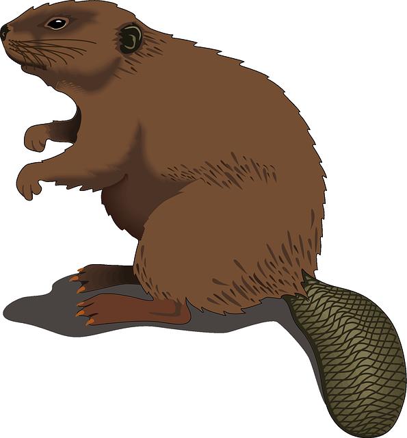 looking beaver clip art clipart panda free clipart images rh clipartpanda com beaver clip art pictures free beaver clipart free