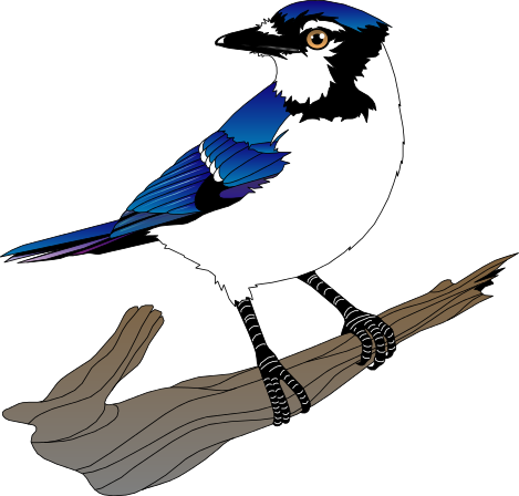 blue jay clipart clipart panda free clipart images rh clipartpanda com blue jay clipart black and white blue jay clipart for school shirts