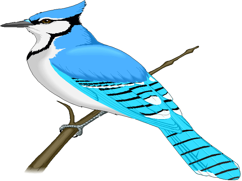 blue 20jay 20clip 20art clipart panda free clipart images blue jay feather clip art blue jay feather clip art