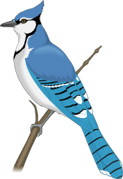 clip art of the blue jay clipart panda free clipart images rh clipartpanda com blue jay feather clipart toronto blue jay clipart