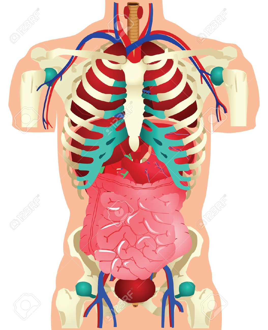Free anatomy pictures