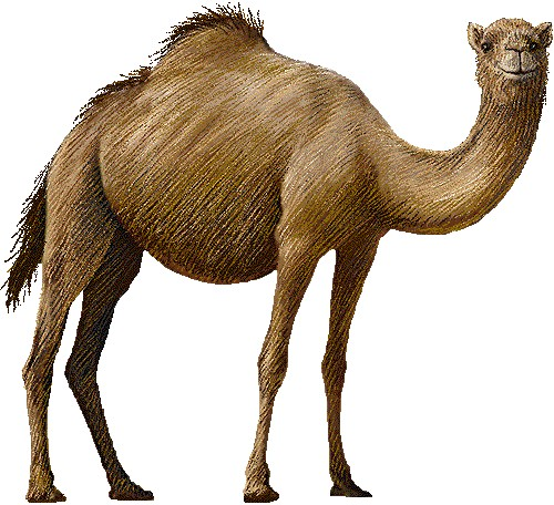 camel clipart clipart panda free clipart images camel clipart black camel clipart black and white
