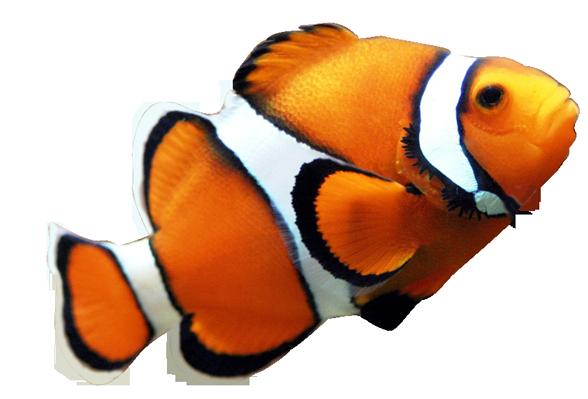 clown fish clipart clipart panda free clipart images clown fish clip art free clownfish clipart #37