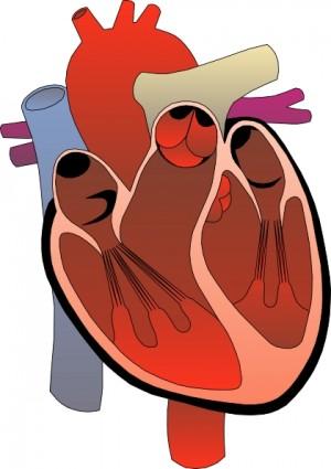Heart Medical Diagram Clip Art Clipart Panda Free Clipart Images