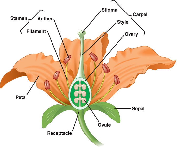 Anatomy of a Flower | Clipart Panda - Free Clipart Images