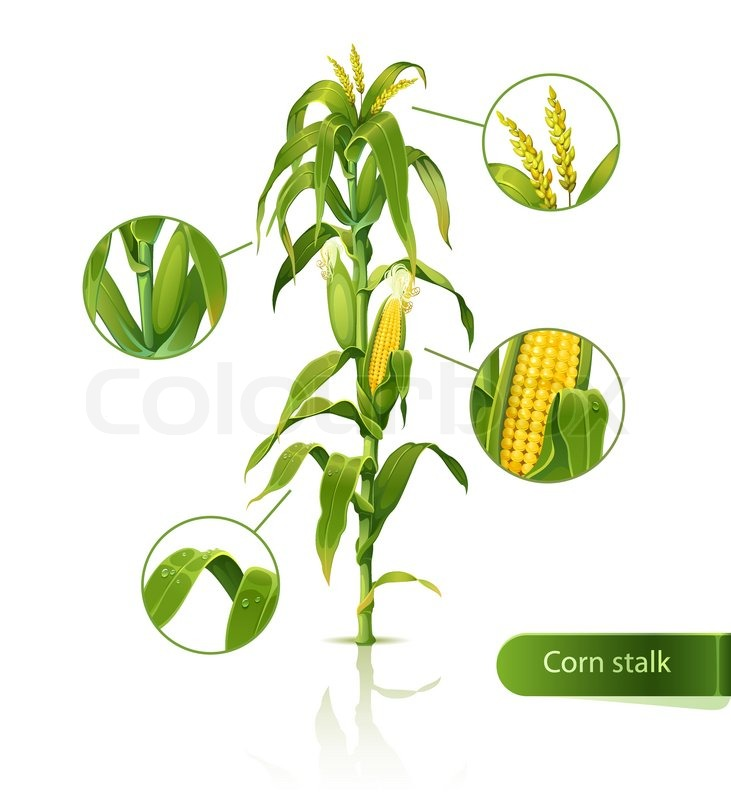 cornstalk clip art wwwimgkidcom the image kid has it