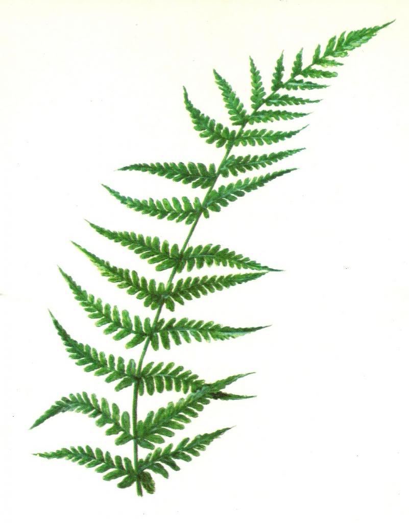 Fern clipart images galleries with a for Where the red fern grows coloring pages