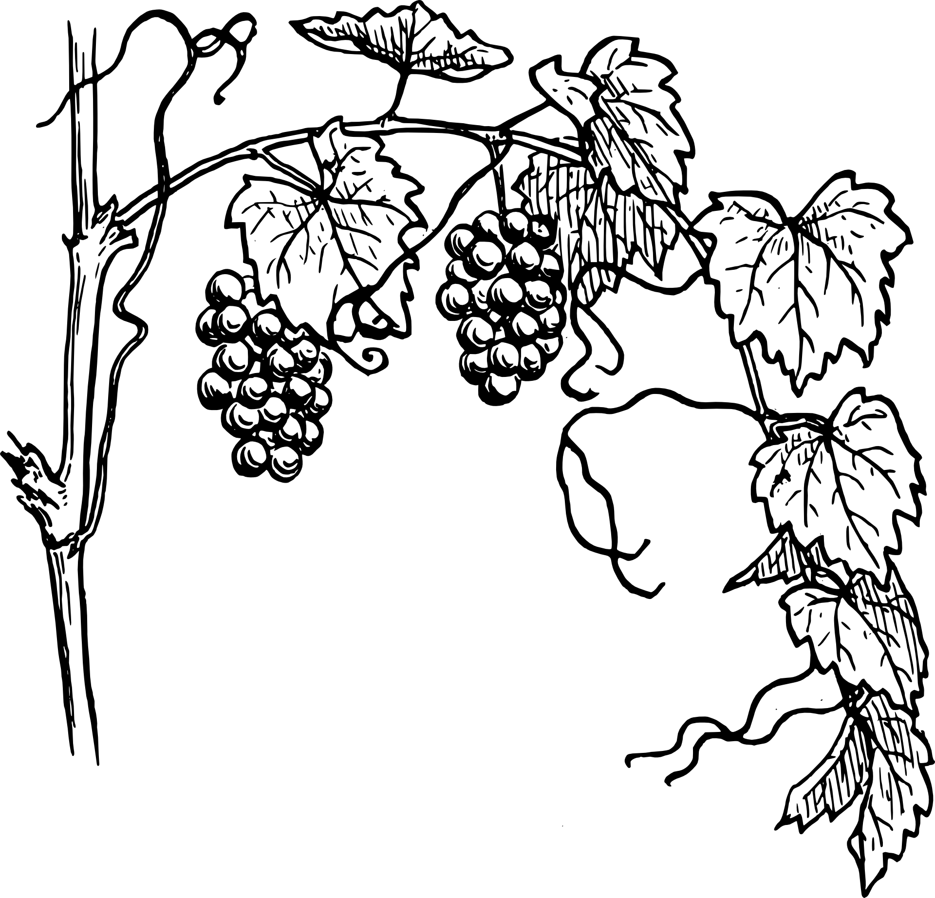 Flower Vine Line Drawing : Grapes drawing clipart panda free images