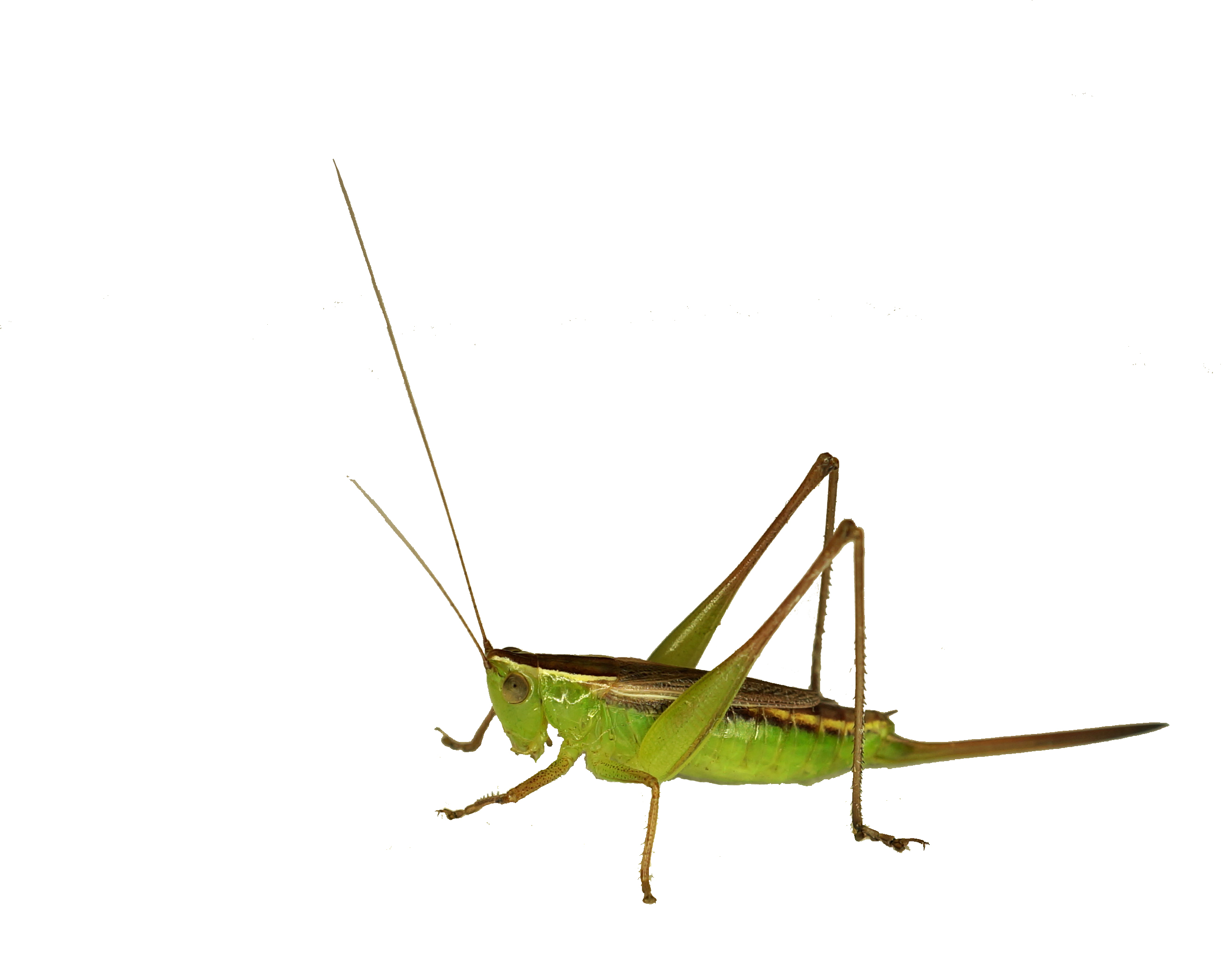 Green Grasshopper Species | Clipart Panda - Free Clipart Images