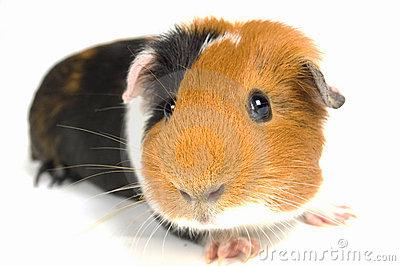 guinea-pig-clipart-curious-guinea-pig-6514327.jpg