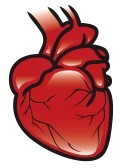 Image result for Human Heart Clip Art