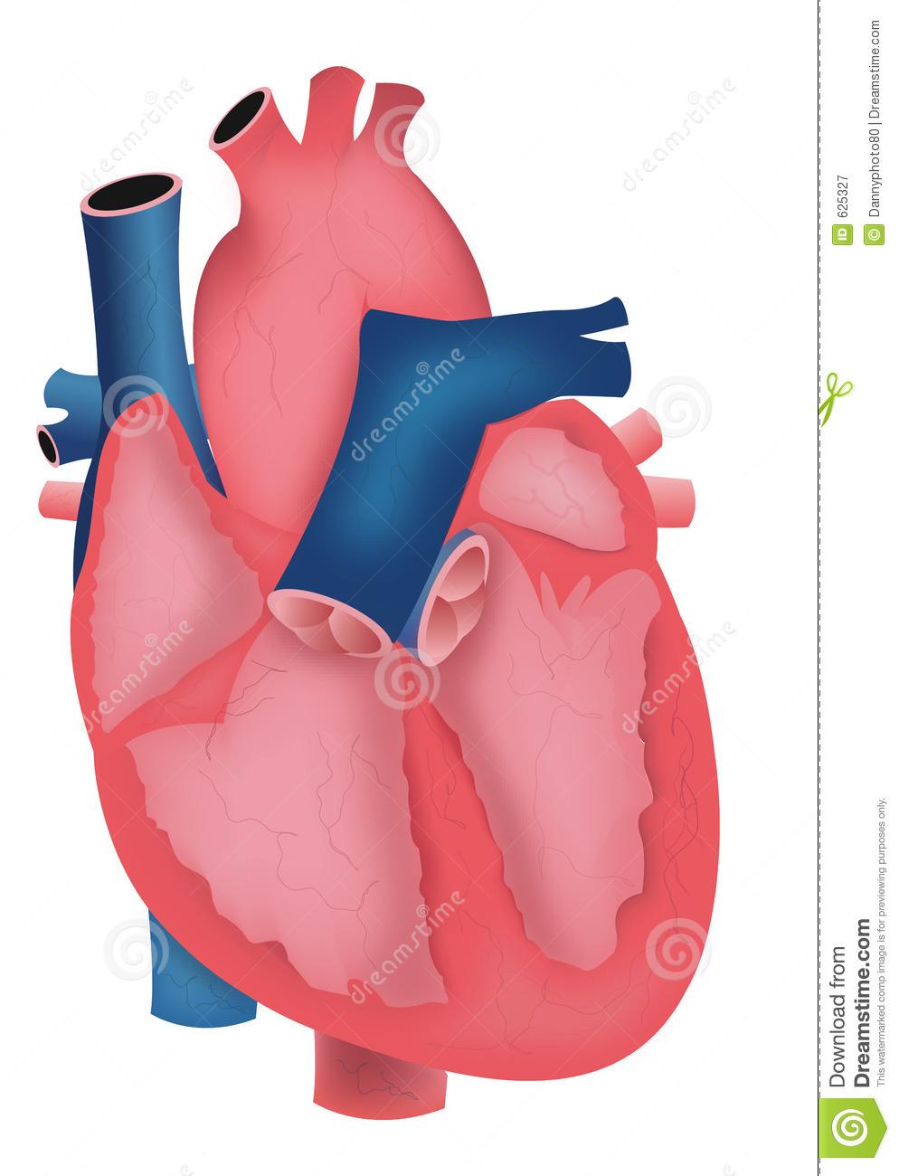human heart clipart viewing clipart panda free clipart images rh clipartpanda com real heart clipart black and white Heart Clip Art