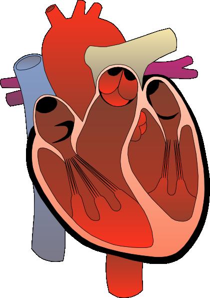 heart medical diagram clip art clipart panda free clipart images rh clipartpanda com human heart clipart free human heart clip art free