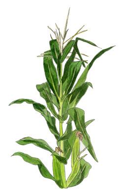 iris clipart panda free clipart images corn stalk clipart free fall corn stalk clipart