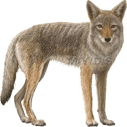 coyote clipart clipart panda free clipart images rh clipartpanda com coyote clipart free coyote clip art free