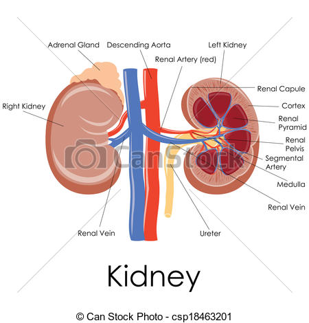 Kidney Clipart Free Clipart Panda Free Clipart Images