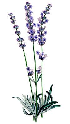 lavender flower clip art free clipart panda free clipart images rh clipartpanda com lavender clip art free lavender clipart images