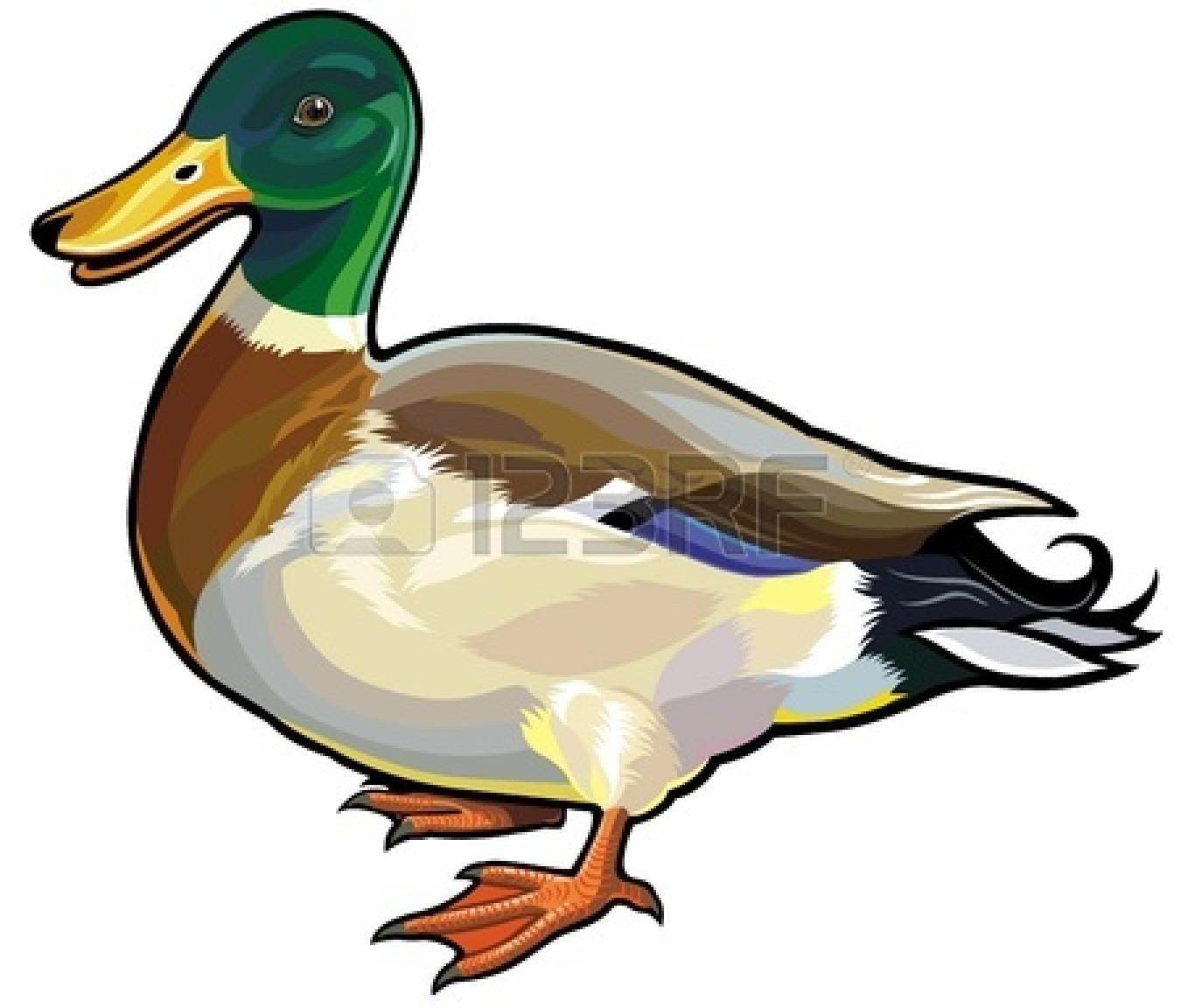 mallard duck clipart