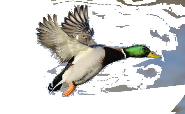 mallard duck clipart clipart panda free clipart images Mallard Duck Silhouette Clip Art Mallard Duck Swimming Clip Art