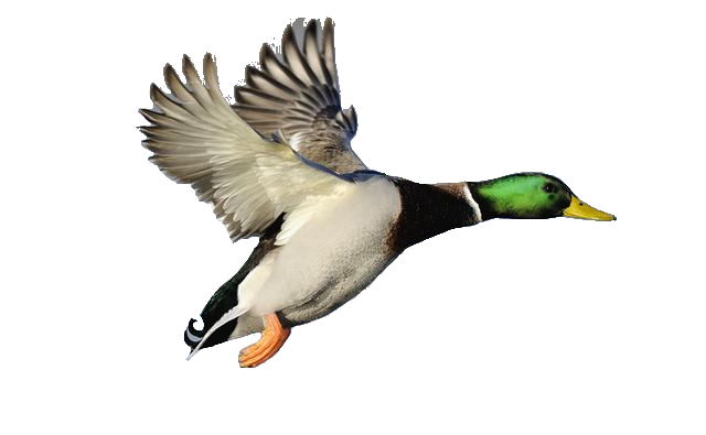 Mallard Duck Flying | Clipart Panda - Free Clipart Images