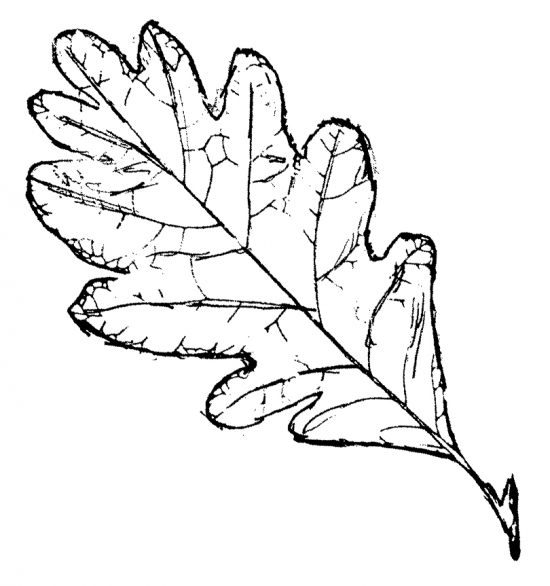 oak leaves drawing  clipart panda  free clipart images