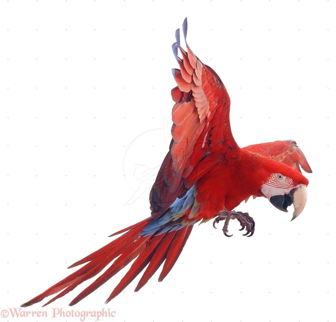 volo nel pappagallo