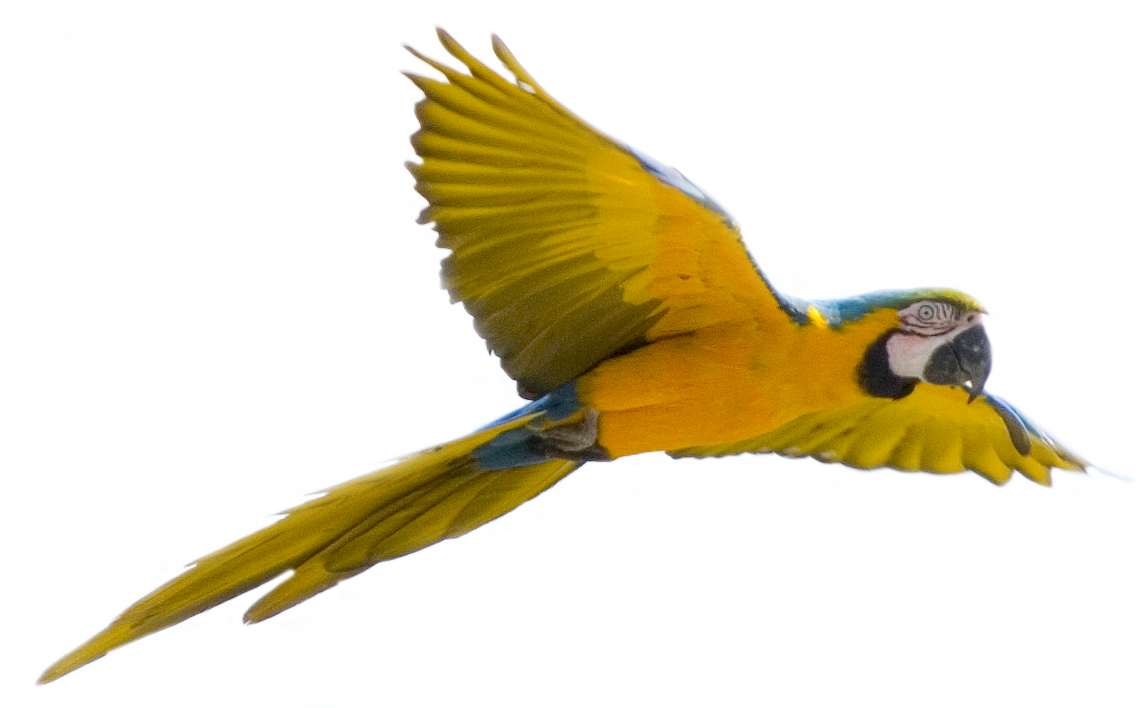 Parrot Flying | Clipart Panda - Free Clipart Images
