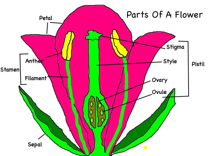 Parts Of A Plant For Kids | Clipart Panda - Free Clipart ...