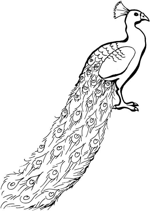 Peacock Feather Coloring Page | Clipart Panda - Free ...