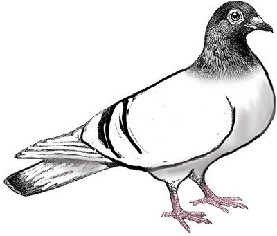 Pigeon Clip Art Black And White | Clipart Panda - Free ...