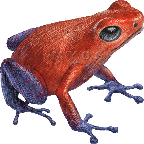Poison dart frog clip art - photo#7