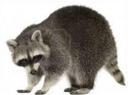 Raccoon Clipart | Clipart Panda - Free Clipart Images