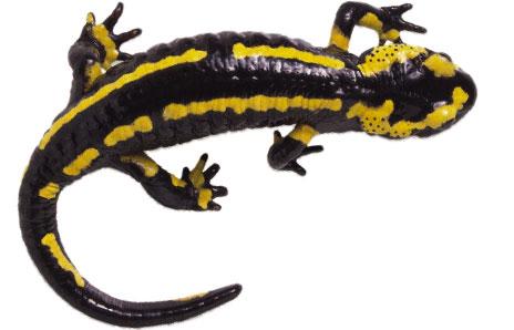 salamander clip art free clipart panda free clipart images rh clipartpanda com