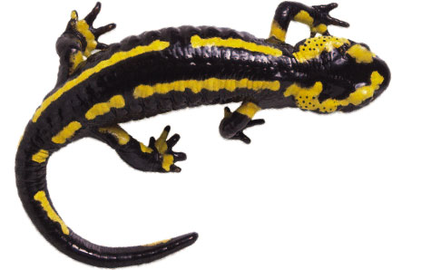 salamander clip art free clipart panda free clipart images rh clipartpanda com  blue spotted salamander clipart