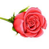 Single Pink Rose Clip Art   Clipart Panda - Free Clipart Images