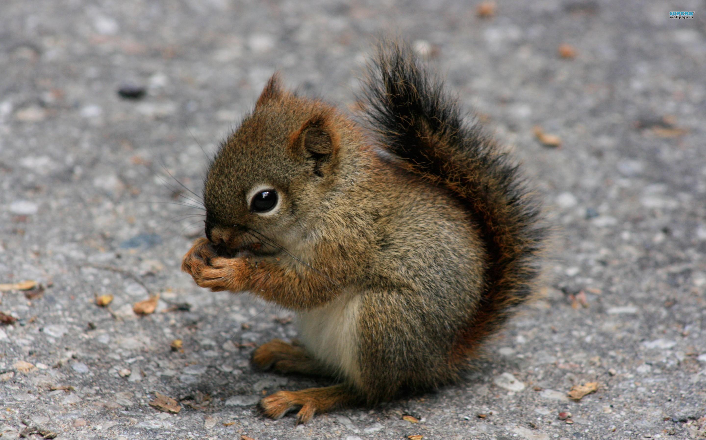 squirrel%20clipart%20