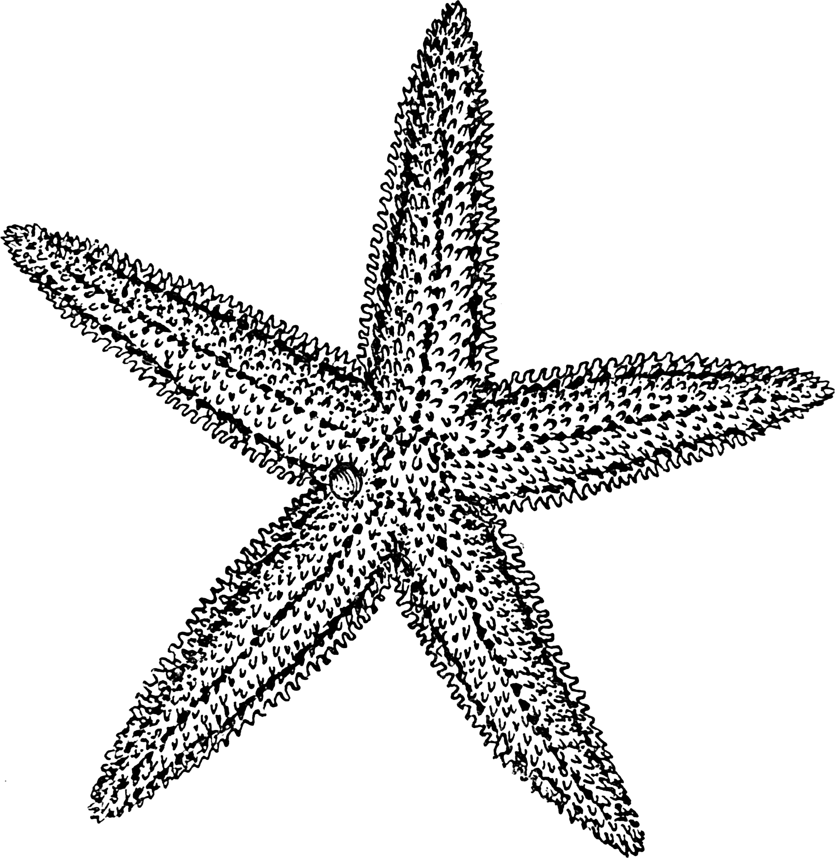 Drawing Lines Using Svg : Starfish drawing clipart panda free images