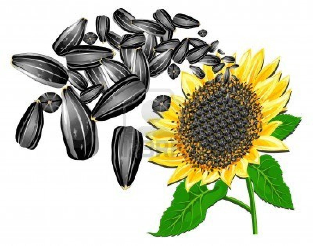 david sunflower seeds clipart - photo #22