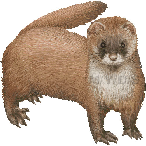 weasel clipart free clipart panda free clipart images weasel clipart free Weasel Animal